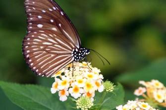多摩動物園昆虫館蝶飼育室で見かけた蝶-1
