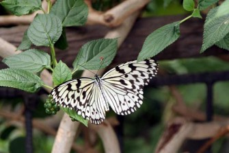 多摩動物園昆虫館蝶飼育室で見かけた蝶-3