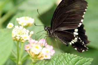 多摩動物園昆虫館蝶飼育室で見かけた蝶-2