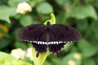 多摩動物園昆虫館蝶飼育室で見かけた蝶-5