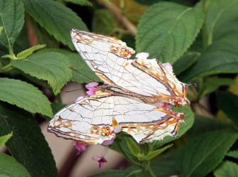 多摩動物園昆虫館蝶飼育室で見かけた蝶-4